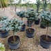 10 Glove blue spruce topiary