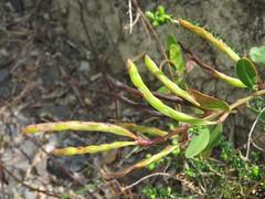 Acacia myrtifolia 9 (barryaceae) Tags: park new plants wales bay south australia national heath species crowdy heathplants australianheathplants aushp