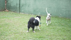 DSC02854 (agorayebm) Tags: dog bordercollie dalmatian crick dlmata