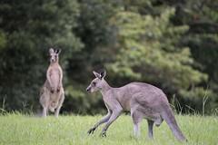 Kangaroos (Geoffsnaps) Tags: head panoramic carbon kangaroos acratech gm5541 monopodgitzogm5541carbonmonopodacratech robertneumannpark goldcoastqueenslandaustralianikon d810nikond810fxgitzo headmonopod