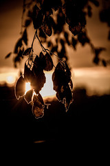Leaves at golden hour