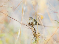 Eurasian siskin (JKonradsen Photography) Tags: autumn wild bird nature birds norway canon wildlife birding feathers seeds naturephotography birdphotography wildlifephotography jkonradsen