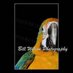 Catalina Macaw (wildlifephotonj) Tags: bird birds parrot macaw parrots macaws naturephotography naturephotos wildlifephotography wildlifephotos natureprints macawphotos