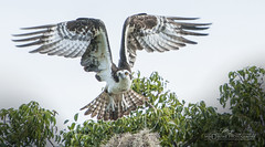 DSC_6460 (mikeyasp) Tags: nature birds outdoors inflight wings nest feathers raptor everglades pandionhaliaetus ospreys nestbuilding