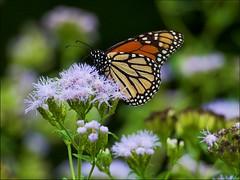 Monarch - Danaus plexippus (Gordon Hart2012) Tags: monarchdanausplexippus