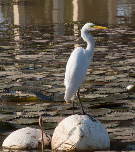 Intermediate Egret (Ardea intermedia).01