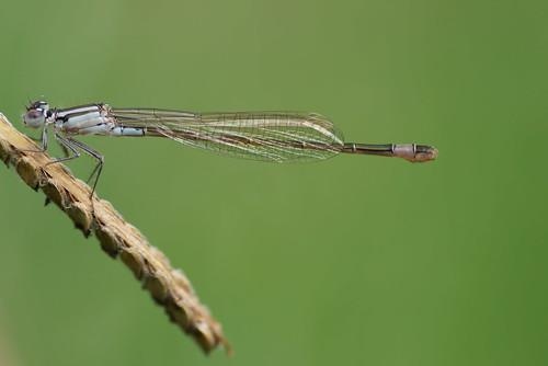 ischnura elegans hembra