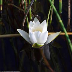 Lumme (mvert) Tags: nymphaea kasvit kukat lumpeet