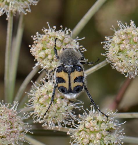 Trichius fasciatus