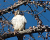 Windy perch (back stage) Tags: sky tree bird hawk mo raptor perch springfield ginkgobiloba redtail missouristateuniversity sonyalpha700 sony70300mmf4556