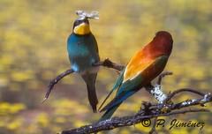 Abejarucos 32 (jimenezcuestapepe) Tags: espaa fauna sevilla andaluca aves abejaruco andalucia espana morndelafrontera localizacion morondelafrontera