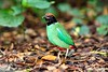 Hooded Pitta (Modestus Lorence) Tags: 300mmf28isii 5dsr canon singapore pitta hooded birds wildlife