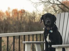 Cortana (Tony Webster) Tags: cortana november autumn chair dog fall field