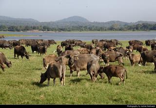 Water Buffaloes, Minneriya NP, Sri Lanka