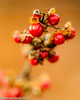 Day 11/365 Winter Berries (Tewmom) Tags: 365the2017edition 3652017 day11365 11jan17 winter berries red closeup
