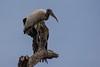 Wood Stork Stretching Wing (Barbara Evans 7) Tags: wood stork stretching wing pantanal brazil barbara evans7
