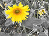 IMG_3971-HDR (rohitupadhyay2) Tags: sunflower flower hdr pune maharashtra india in