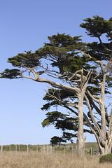 Cupressus macrocarpa (IvanTortuga) Tags: tree threatenedspecies ca california pointreyes nps nationalseashore montereycypress cupressus macrocarpa cupressusmacrocarpa