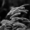Marshland Grasses 042 (noahbw) Tags: d5000 dof middleforksavanna nikon blackwhite blackandwhite blur bw depthoffield grass landscape marshland monochrome natural noahbw prairie square summer wetlands