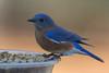 Eastern Bluebird (J.B. Churchill) Tags: birds eabl easternbluebird maryland patroseshouse places stmarys taxonomy thrushes turdidae callaway unitedstates us