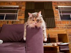 Stevie (Travis Estell) Tags: calico cat damestevie domesticlonghair graycat greycat longhair monorailcat steviethecat