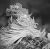 Who You calling Chicken, its Christmas time.. (A.J.Pendleton-Lightbox 2008 (On and Off)) Tags: chicken fowl nature