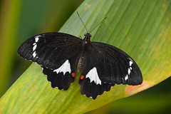 Orchard Swallowtail Butterfly (Papilio aegeus) (Seventh Heaven Photography) Tags: orchard swallowtail butterfly papilio aegeus papilioaegeus sydney nsw new south wales australia