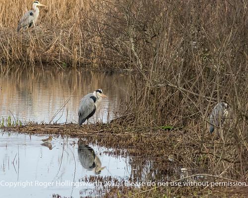 Grey Heron and Snipe