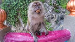You think it's a smile? (Alexandr Tikki) Tags: art amazing wow monkey fun funny smile nice travel malasya world leveltravel awesome alexandrtikki best