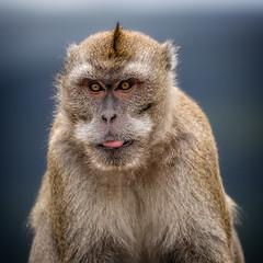 Macaque Monkey (stevehimages) Tags: steve steveh stevehimages warden wowzers grandpas den 2017 macaque monkey mauritius black river gorge