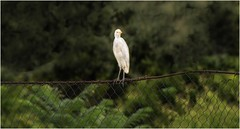 6872-  Cattle Egret (canuckguyinadarkroom) Tags: birds egret