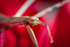 Stick Insect (Daniele Nicolucci photography) Tags: phasmatodea phasmatoptera phasmida animal bacillusrossius closeup flower insect macro mimicry phasmid red stick stickbug stickinsect walkingbug walkingstick nature