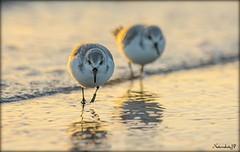 Sanderling (Natureshots.JP) Tags: dublin ireland sunset wader beach nikon300mmf28vr2 nikond750 nikon17tc