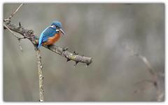 Martin-pêcheur (guiguid45) Tags: nature sauvage oiseaux bird loiret d810 nikon 300mmf28 martinpêcheur alcedoatthis commonkingfisher coraciiformes alcédinidés