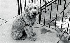 Waiting Patiently for Master (Bill Smith1) Tags: believeinfilm billsmithsphotography december2016 hc110b heyfsc leslieville nikkoraf50f18lens nikonn90s rolleiretro400s toronto