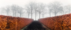 Hedge in the fog. (rudi.verschoren) Tags: hedge rust roest trees lane walkway walk path colors cold belgium brown black endless europe eos europa exposure canon 70d minimalisme landscape landschap leaves lines long outdoor fog mist
