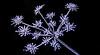 simulating fireworks (ralfkai41) Tags: ngc makro plant macro pflanze nature frost outdoor schwarzerhintergrund natur frozen gefroren blackbackground wow