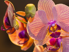 Orchids Drama (cobalt123) Tags: arizona canon5dmarkii phoenix safeway flowers handheld orchid orchids drama dramatic colorful pink purple red magenta glowing
