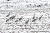 Baby, It's Cold Outside (Gary Grossman (snowed in!)) Tags: sandhillcranes cornfield snow garygrossmanphotography shotsofawe wildlife wildlifephotography cranes field stubble landscape pacificnorthwest fall autumn latefall december sauvieisland oregon