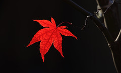 Red Leaf Japanese Maple (ashockenberry) Tags:
