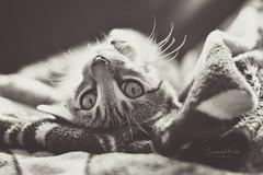 Whisky the Cat (carolincr) Tags: mascota gato cat pets