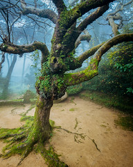 Tree of the Capuchos 2 (J C Mills Photography) Tags: sintra portugal sintracascaisnaturalpark moss tree convento dos capuchos lichen mist fog