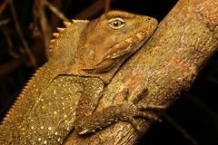 Rainforest Dragon (Mitch Thorburn) Tags: southern angle headed dragon rainforest springbrook national park mitch thorburn