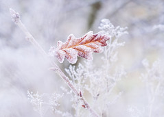Breeze (Vemsteroo) Tags: cold countryside fujifilm lickeyhills morning sunrise xt2 frost nature bruetonpark solihull macro closeup beautiful frozen ice icy winter outdoors 56mm 12 prime delicate intricate westmidlands park leaves leaf soft bokeh