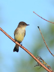 Eastern Phoebe 01-20170121 (Kenneth Cole Schneider) Tags: lorida miramar westbrowardwca