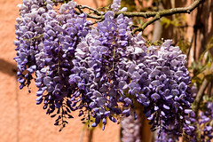 Wisteria in flower
