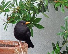 Amselmann Kurti - blackbird Kurti