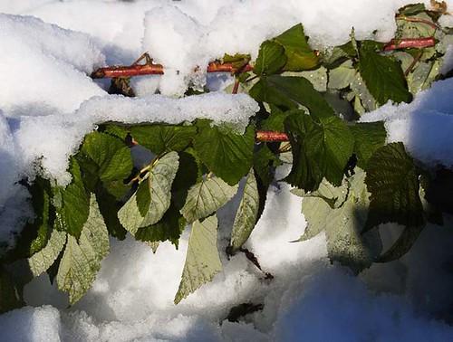 Snow On Raspberry Brambles