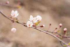 Spring (martabergamo) Tags: flowers spring pastelcolours 50mm fiori primavera canoneos700d
