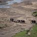 Elephants Crossing Tarangire River
